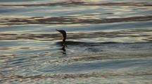 Red Throated Loon Takes Off