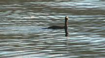 Red Throated Loon On Rippled Surface, Dives