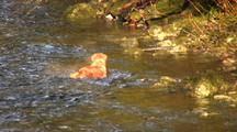 A Dog Swims And Wades In A River