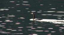 Red-Throated Loon On Sunlit Surface