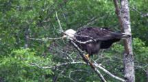 Bald Eagle Taking A Big Shit.