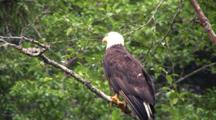 Bald Eagle Taking Off From A Tree Limb