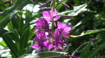 Close-Up Of Alaska Fireweed
