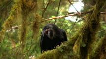 Talkative Raven