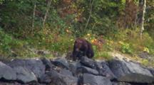 Brown Bear Walking And Watching Salmon.