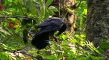 Raven Eating Red Berries