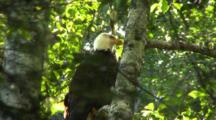 Bald Eagle In A Alder Tree