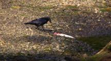 Raven Feeds On A Fish