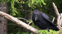 Raven With Odd Behavior