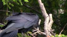 Raven With Odd Behavior