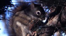 Squirrel Feeding On A Spruce Tree Cone