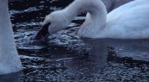 Early Morning: Trumpeter Swans
