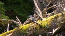 Kingfisher On A Old Dead Tree