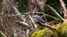 Belted Kingfisher On A Old Dead Tree