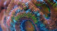 A Focus Stacked Macro Time Lapse Of An Acanthastrea Coral Moving