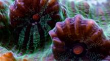 A Focus Stacked Macro Time Lapse Of A Fluorescent Chalice Coral Moving, Framze Zooms Out