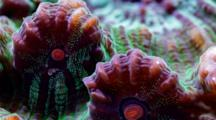 A Focus Stacked Macro Time Lapse Of A Fluorescent Chalice Coral Moving, Frame Zooms In