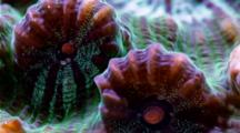 A Focus Stacked Macro Time Lapse Of A Fluorescent Chalice Coral Moving