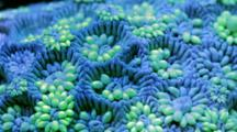 Focus Stacked Macro Time Lapse Of A Fluorescent Goniopora Coral Moving
