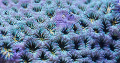 Leptastrea coral polyps extend - focus stacked supermacro time lapse