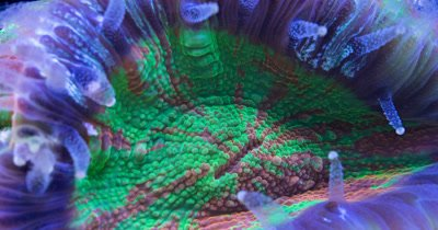 Scolymia coral closes - focus stacked supermacro time lapse
