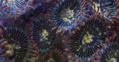 Zoanthid supermacro focus stacked footage