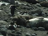 Penguins And Seals On Rocky Beach