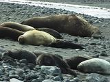 Elephant Seals On Rocky Beach