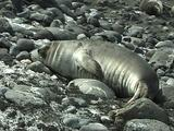 Elephant Seal Pup On Rocky Beach