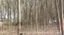 Small Rubber Tree Forest