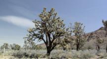 Yoshua Trees Near Cima, California