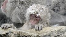 The Japanese Macaque (Snow) Monkeys Enjoying A Bath In The Onsen Of Jigokudani Yaenkoen, Nagano Prefecture