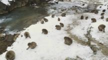 Japanese Macaques, Snow Monkeys Feed In Snow At Edge Of Bath In The Onsen Of Jigokudani Yaenkoen