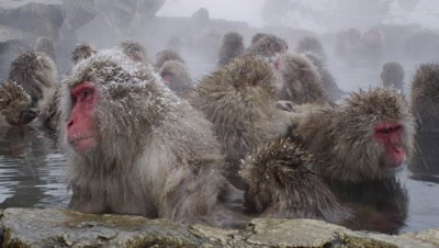 The Japanese Macaque (Snow) Monkeys enjoying a bath in the Onsen of Jigokudani Yaenkoen
