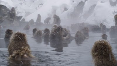 The Japanese Macaque (Snow) Monkeys enjoying a bath in the Onsen of Jigokudani Yaenkoen