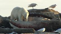 Polar Bear Eating Whale Bones