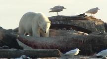 Polar bear feeding on whale carcass