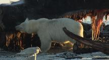 Polar Bear Feeding On Whale In Arctic Refuge National Monument Arctic National Wildlife Refuge Anwr 50th Anniversary