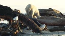 Polar Bear Feeds On Whale Anwr