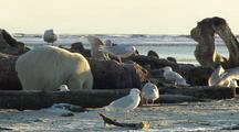 Polar Bear Feeds On Whale