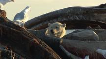 Polar Bear Feeds On Whale And Looks Up