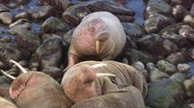 Walrus Walking On Rocks