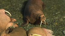 Walrus In Clear Water