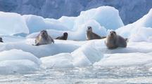 Harbor Seals On Ice Resting