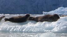 Harbor Seals On Ice