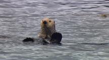 Alaska Sea Otter In Kelp