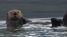 Alaska Sea Otter In Kelp