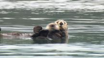Alaska Sea Otter With Pup