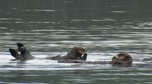 Alaska Sea Otter With Pup Pull