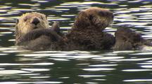 Alaska Sea Otter With Pup